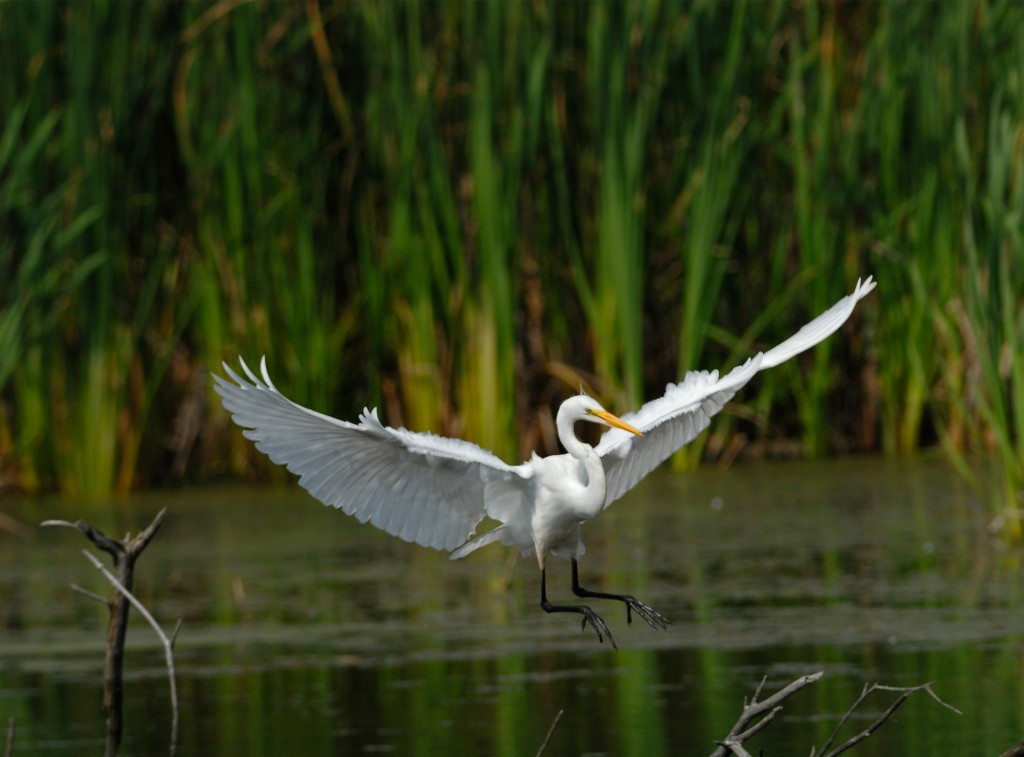 Grande aigrette. Photo: yvanbedardphotonature.com