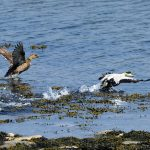Oiseaux. Eiders à duvet, à l'île aux Basques. (Photo: yvanbedardphotonature.com)