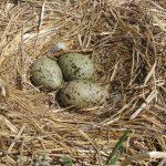 Ce nid de goéland argenté illustre la présence marqué de cette espèce aux îles Razade. Ils y sont dénombrés lors de l'inventaire des oiseaux marins réalisé annuellement par la Société Duvetnor.