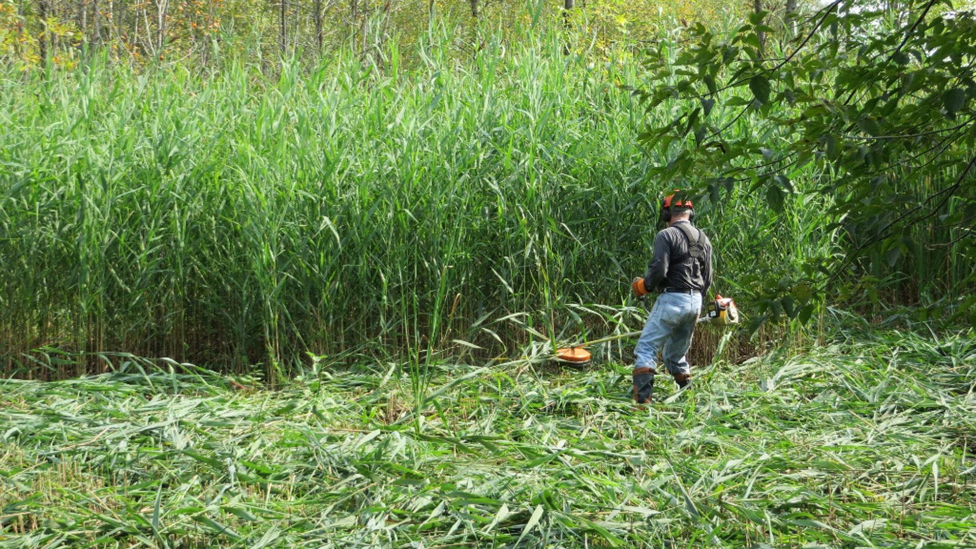 Fauchage du roseau commun à l'aide d'une débroussailleuse à la Réserve naturelle du Marais-Léon-Provancher. (Photo: Réhaume Courtois)