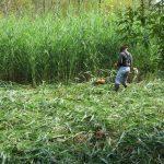 Fauchage du roseau commun à l'aide d'une débroussailleuse au marais Léon-Provancher. (Photo: Réhaume Courtois)