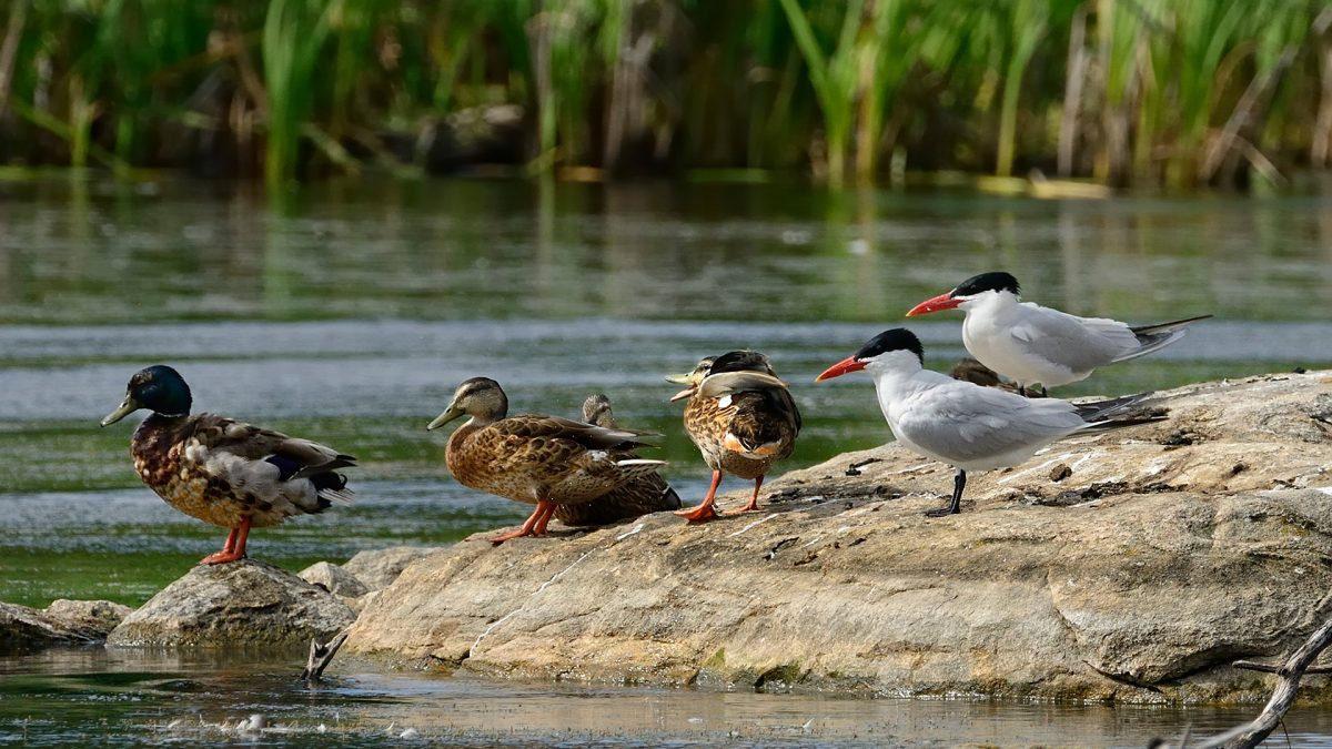 Canards et Sternes (Photo: yvanbedardphotonature.com)