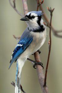 Oiseau: geai bleu. Photo: Yvan Bédard (yvanbedardphotonature.com)