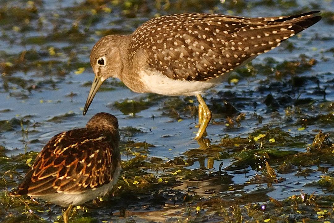 Pluviers, mère et juvénile (Photo: yvanbedardphotonature.com)