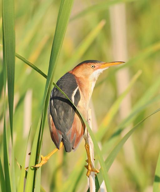 Oiseau: petit Blongios