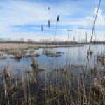 Quelques roseaux communs en bordure du marais Léon-Provancher, crédits photos: Réhaume Courtois