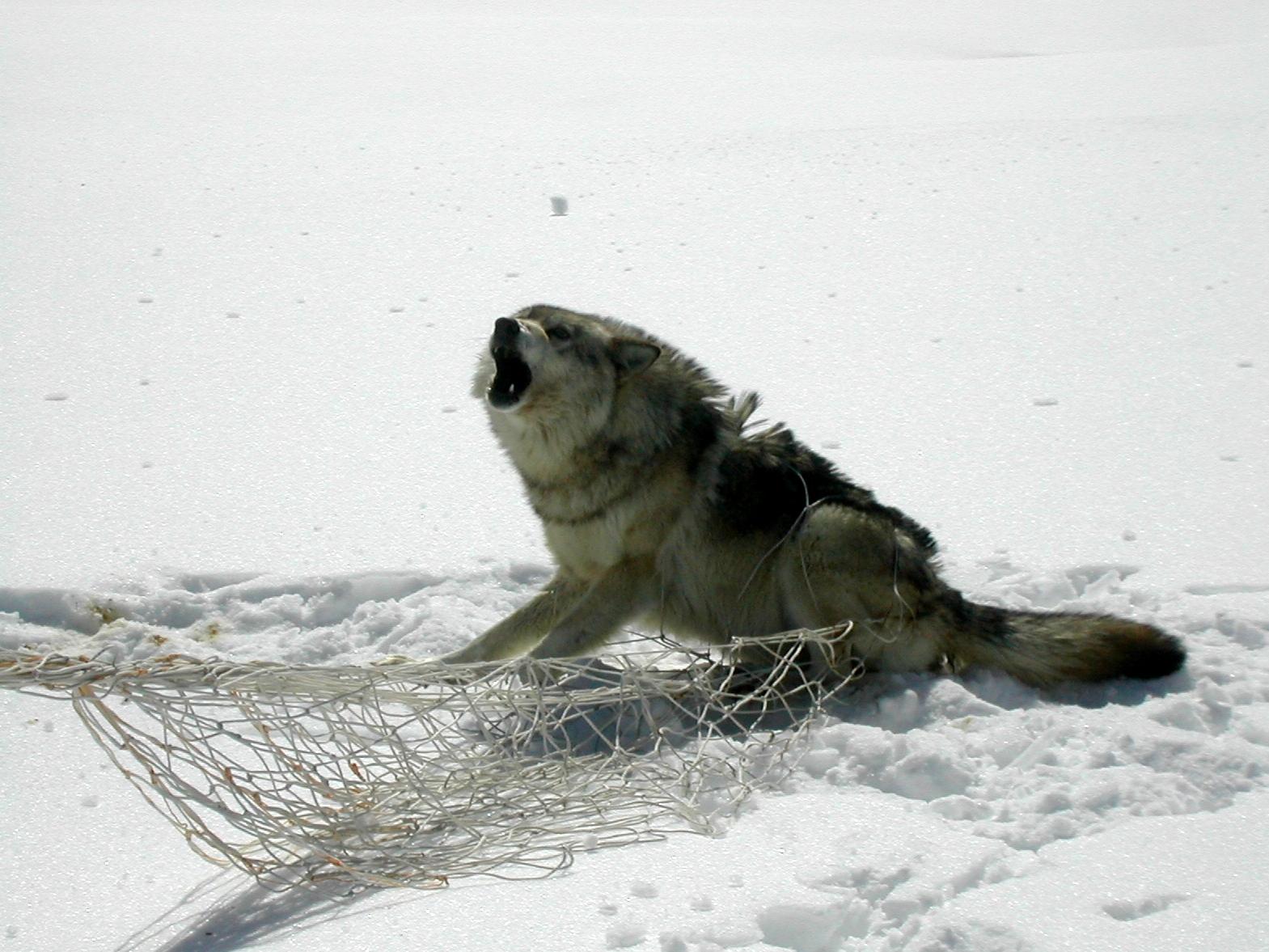 Capture d'un loup sur la Côte-Nord au mois d'avril 2004 (Photo: Réhaume Courtois)