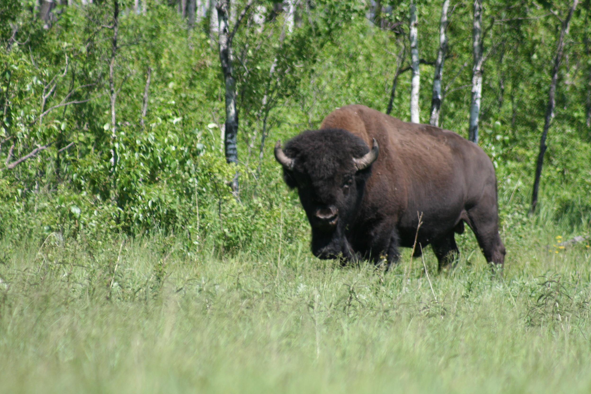 Bison (Photo: Daniel Fortin)