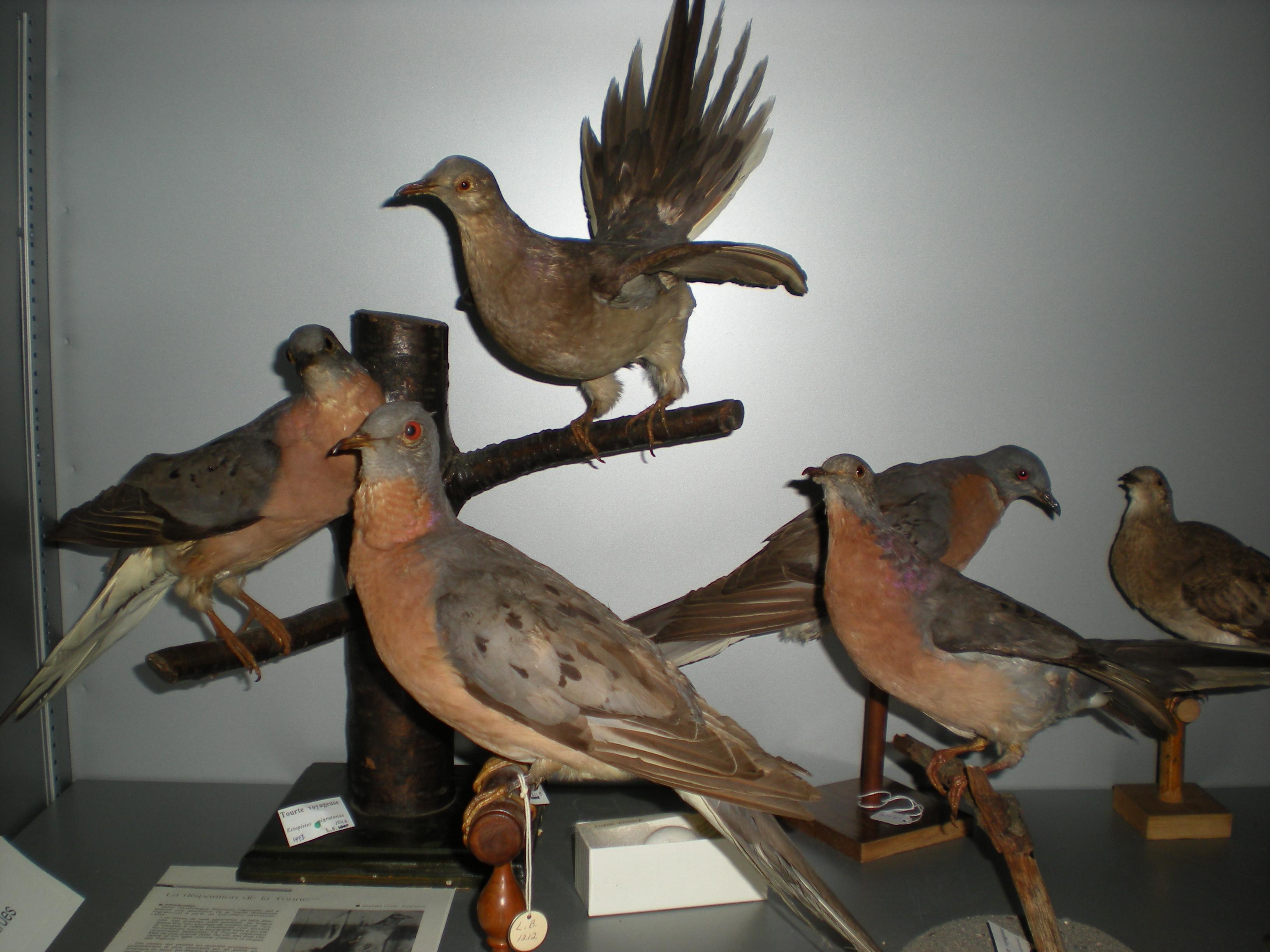 La tourte voyageuse, une espèce d'oiseaux disparue. Collection Léon-Provancher, Université Laval.