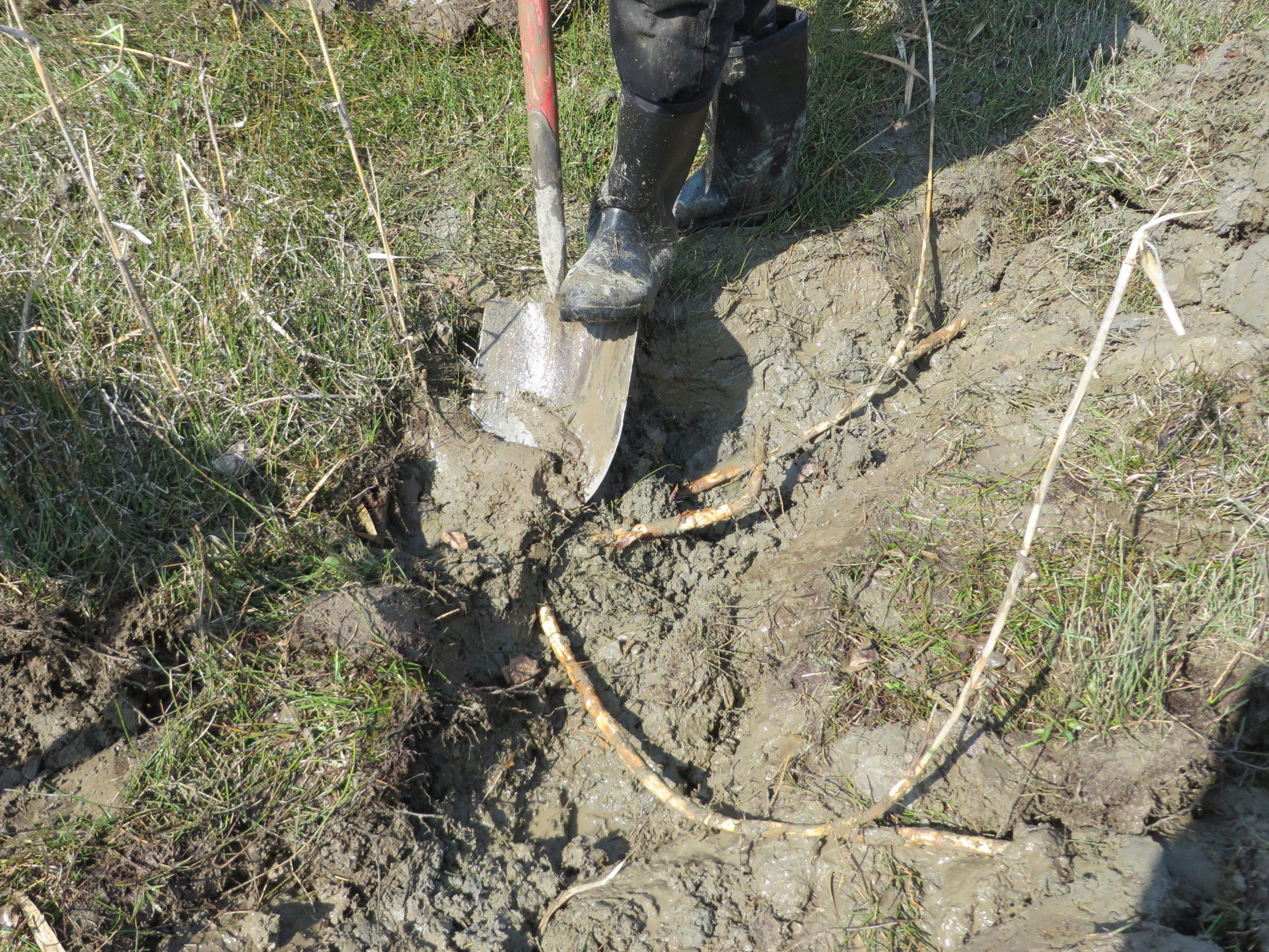 Arrachage de rhizomes de roseau commun à la pelle à la Réserve naturelle du Marais-Léon-Provancher (Photo: Réhaume Courtois)