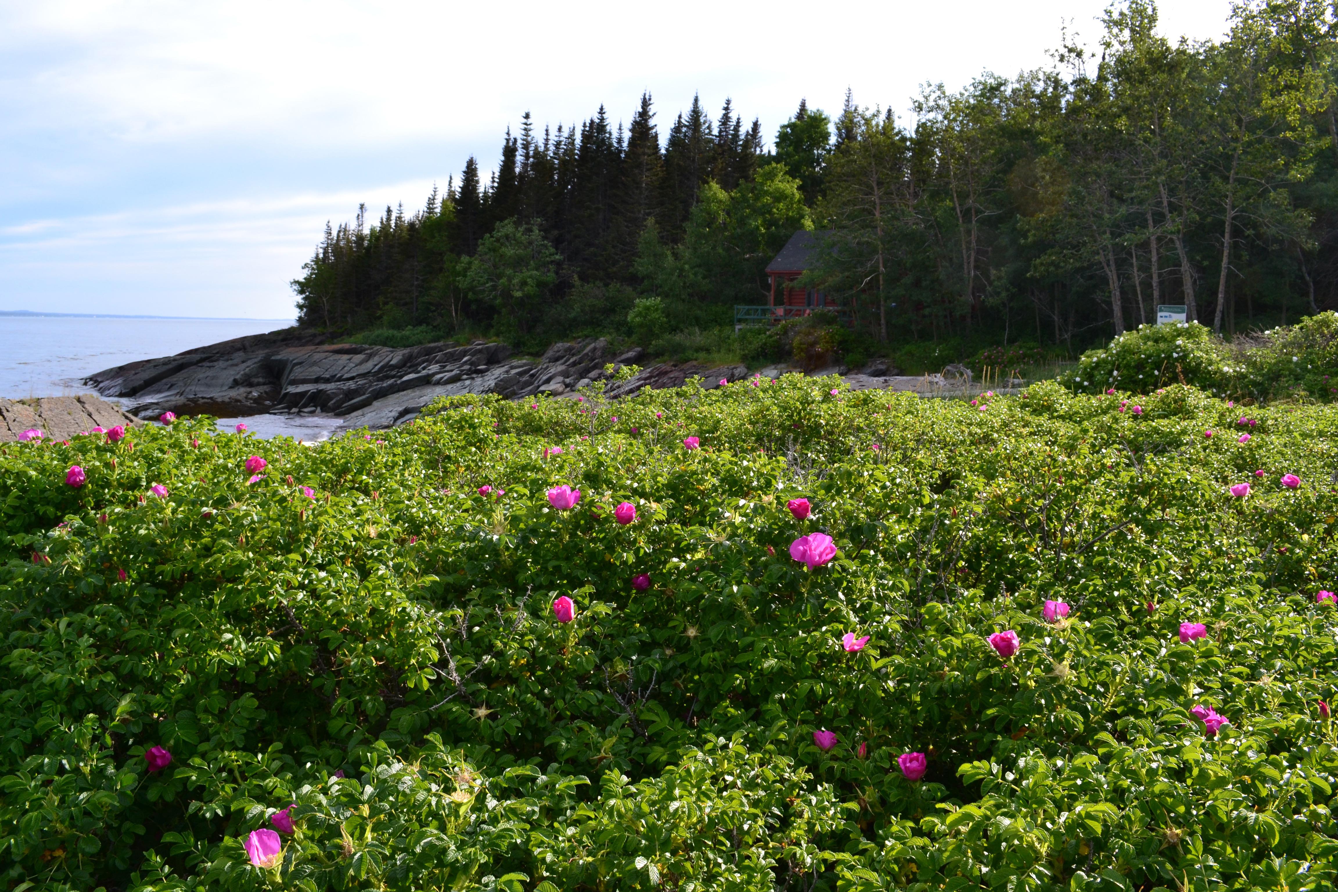 Paysage riverain et rosiers sauvages au Parc naturel et historique de l'Île aux Basques (Photo: Nancy Charland)