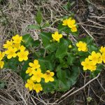 Caltha palustris (Photo: FQPPN)