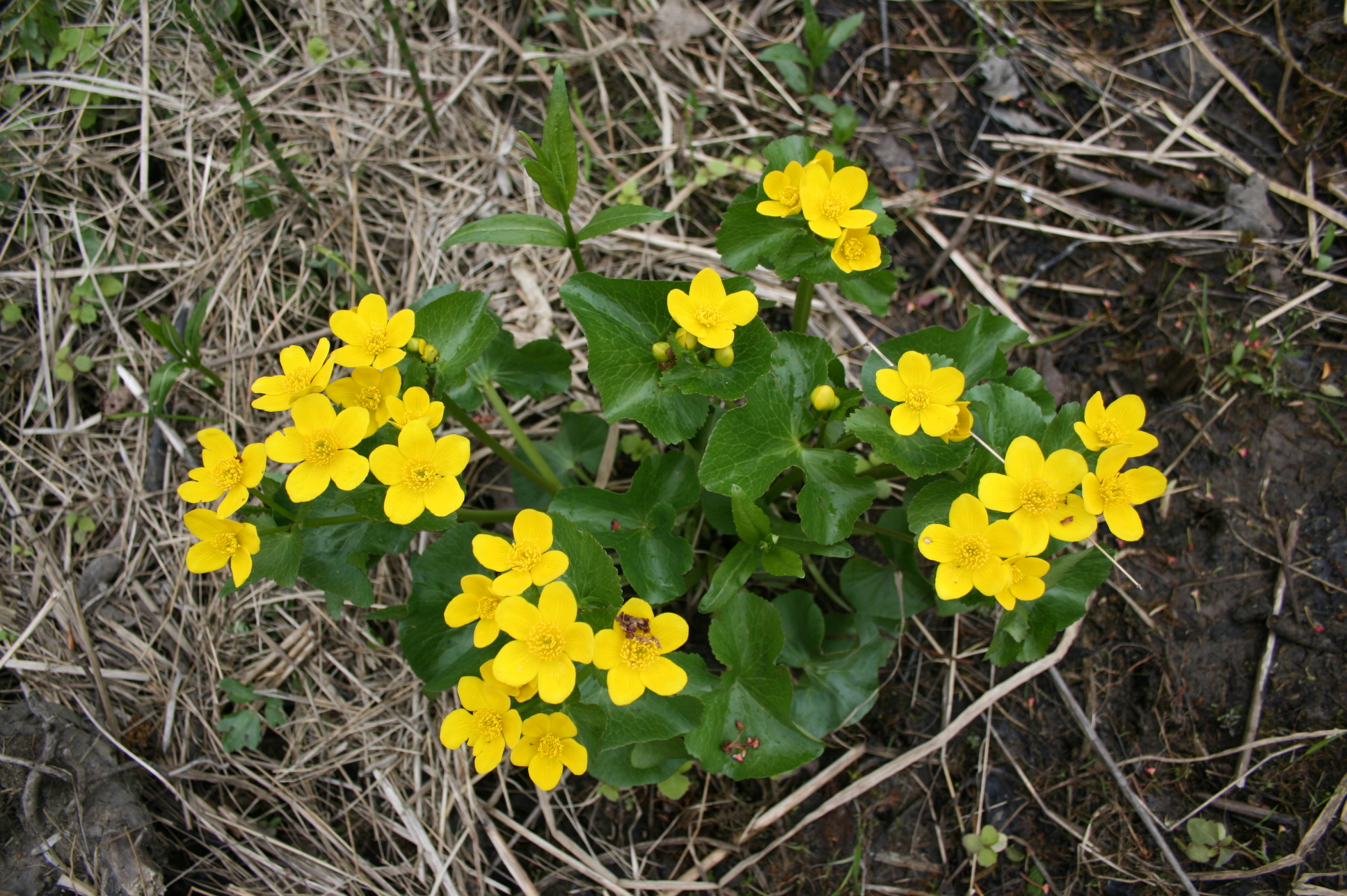 Populage des marais (Caltha palustris). Photo: FQPPN.