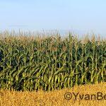Champ de maïs à Neuville (Photo: Yvan Bédard)