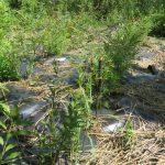 Boutures de saules plantées au travers d'une bâche dans la colonie 23, été 2017