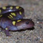 Amphibien. Salamandre maculée. Photo: Hugo Cayuela