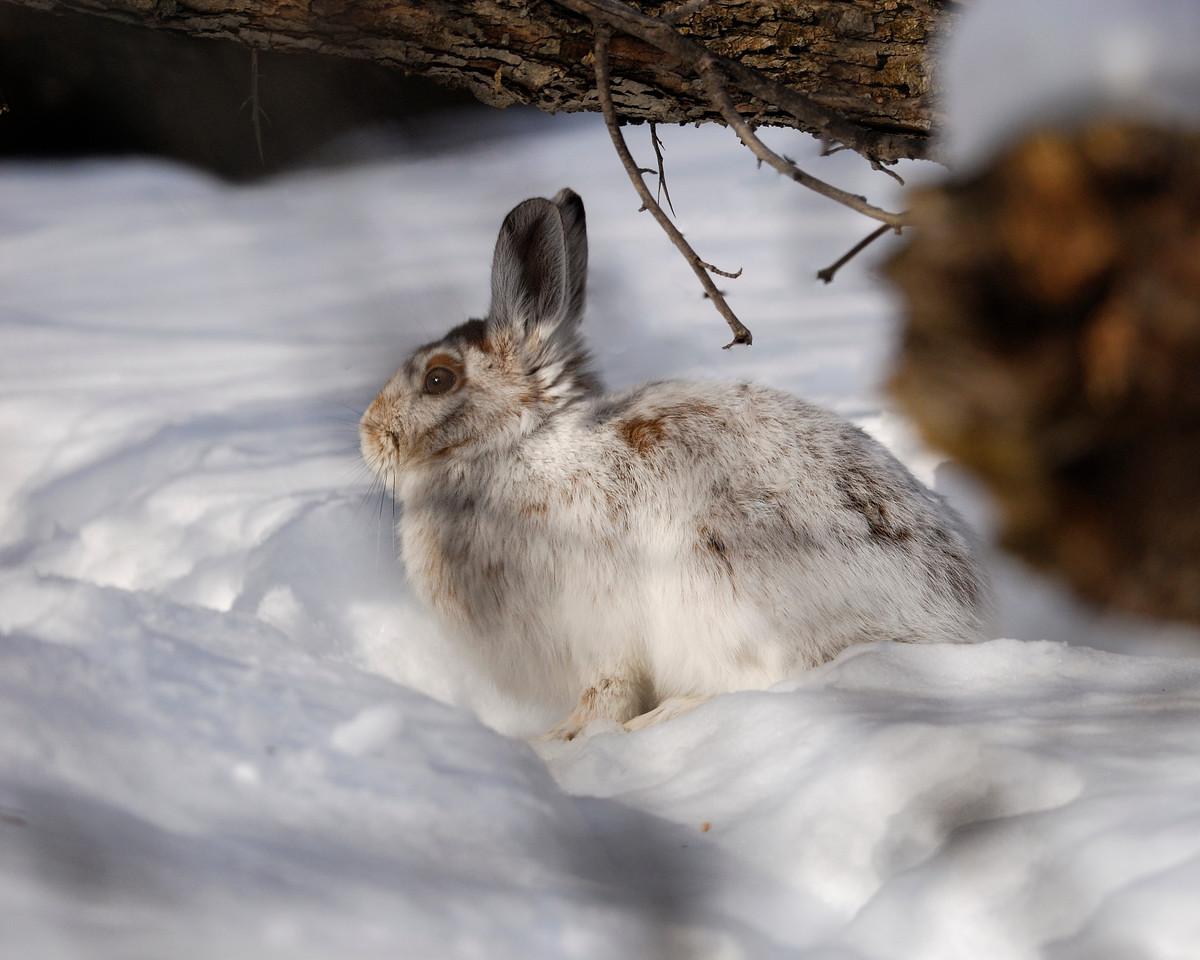 Lièvre d'Amérique en hiver. Photo: Yvan Bédard