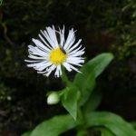 Flore. Vergerette de Provancher, une plante menacée au Québec. . Photo : Audrey Lachance