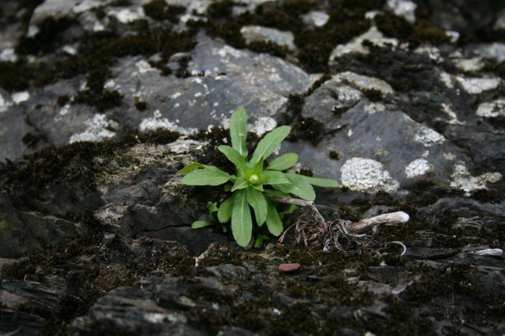 Flore. Vergerette de Provancher, dont les feuilles forment une rosette. Photo : Audrey Lachance.