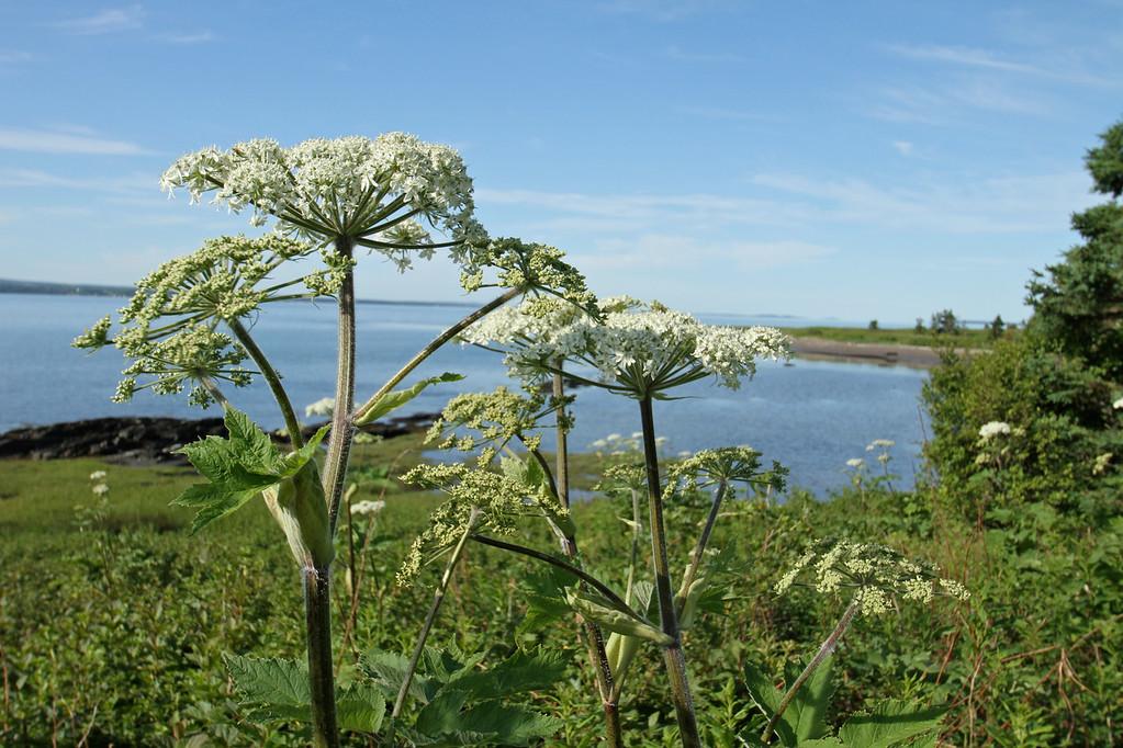 Berce très grande (berce laineuse). Parc naturel et historique de l'Île aux Basques. Photo: Yves Déry.