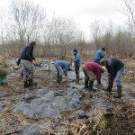 Plantation de boutures de saules par des bénévoles de la Société Provancher. Photo: Réhaume Courtois.