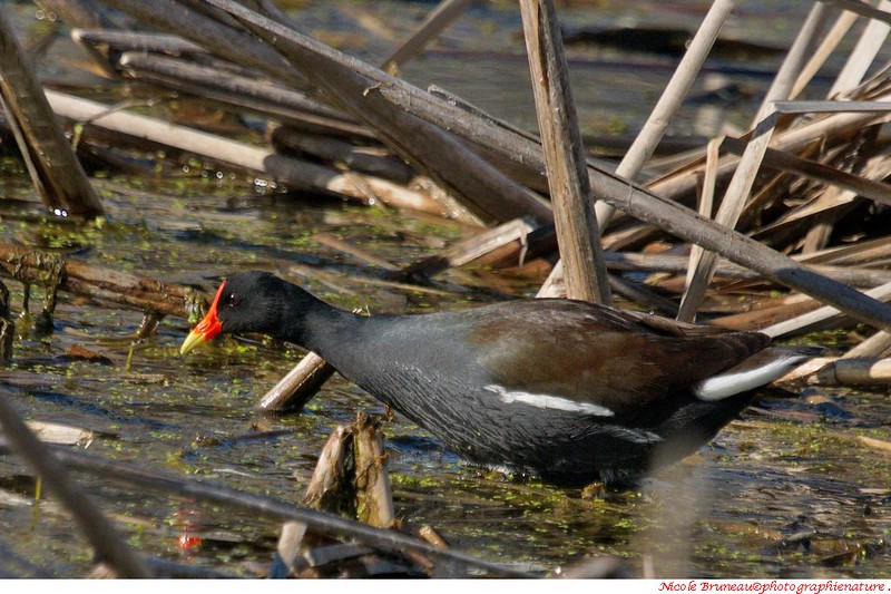 Gallinule poule d'eau. Photo Nicole Bruneau.