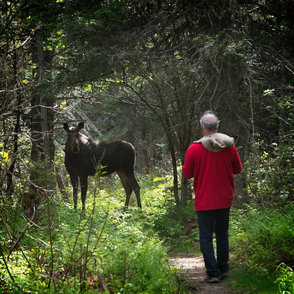 Rencontre impromptue entre une femelle orignal et un bénévole de la Société à l'Île aux Basques. Photo : Yvan Bédard.