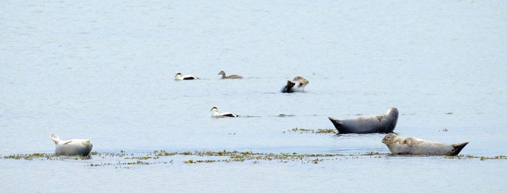Oiseaux et mammifères. Eiders et phoques à l'île aux Basques. Photo : Guy Boudreau.
