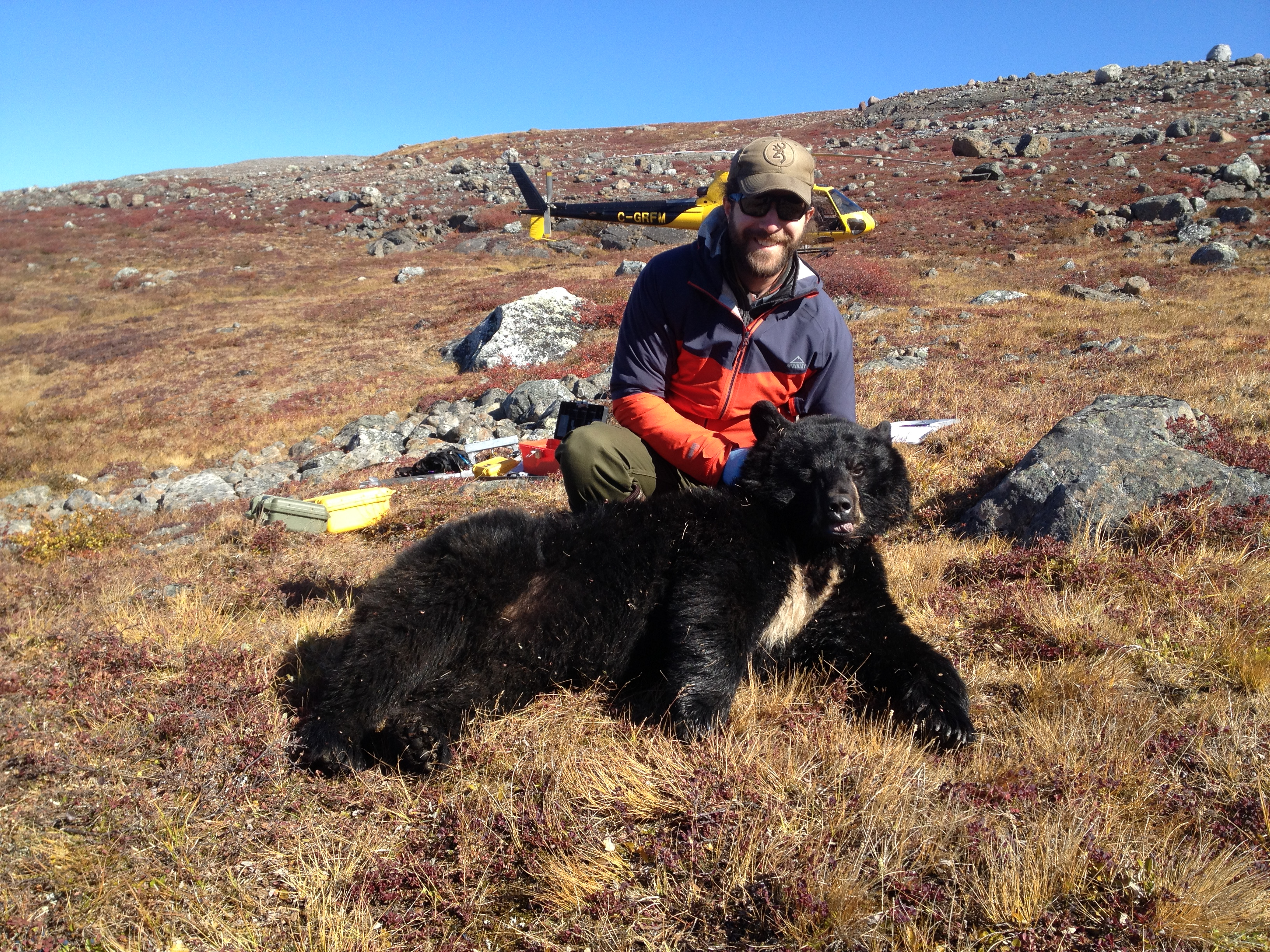 Capture d'un ours noir au Nunavik. Photo: Michaël Bonin