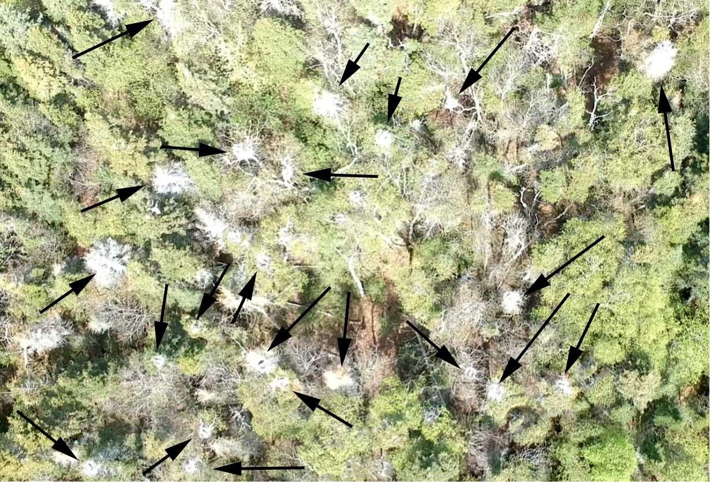 Exemple d'une capture d'une partie de la héronnière; les flèches pointent vers des nids occupés de grand héron. Photo : Pierre Laporte