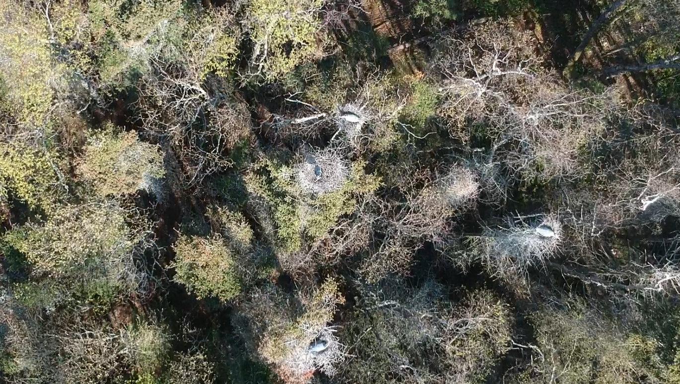 Quelques grands hérons sur leurs nids à l'île aux Basques (agrandir la photo pour les voir). Photo: Pierre Laporte.