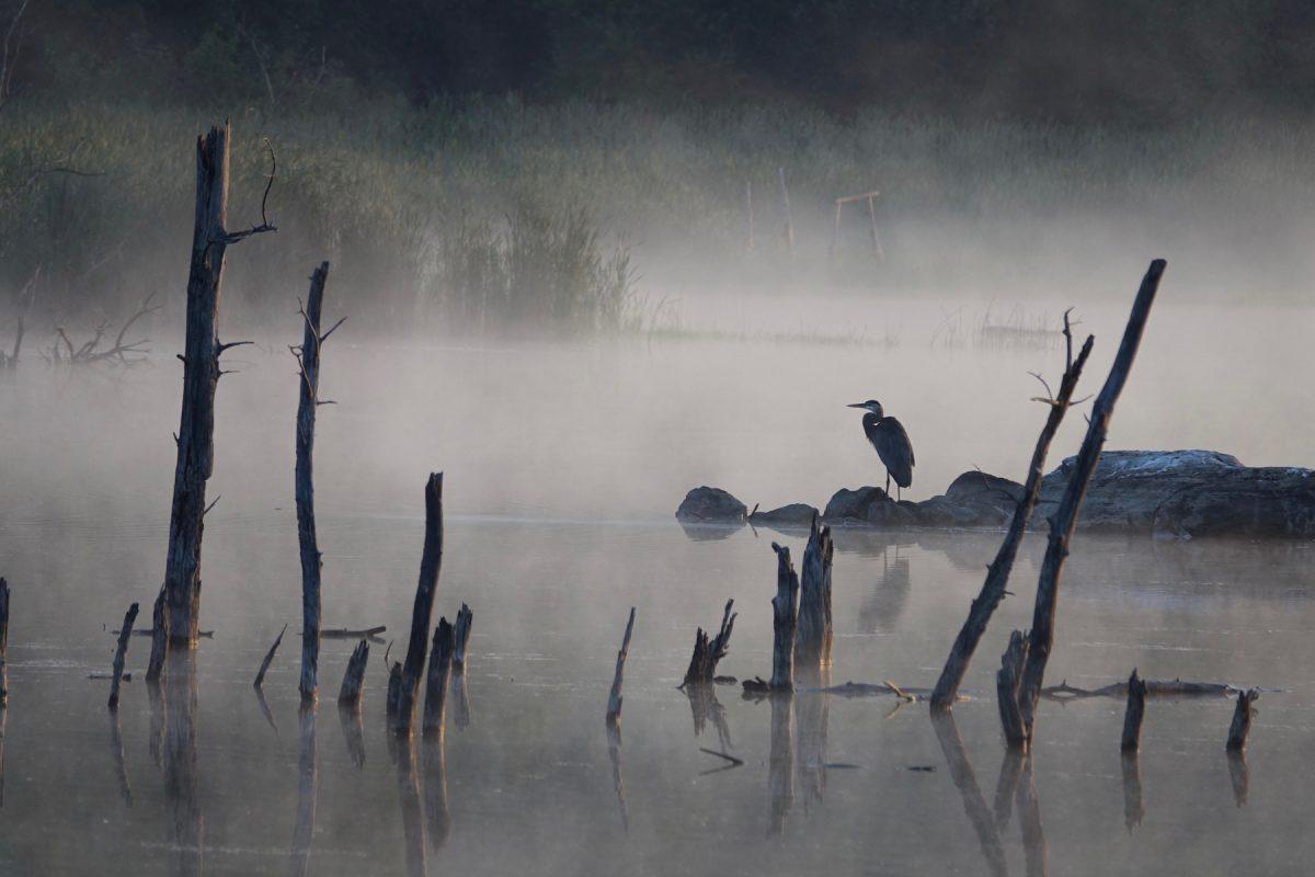 C'est dans un environnement brumeux et matinal qu'un grand héron se repose en bordure du marais Léon-Provancher, à Neuville. Photo : Jean Labbé.