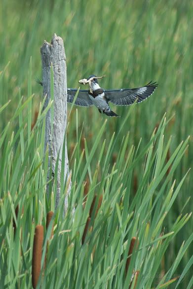 Un martin-pêcheur d'Amérique femelle capture une grenouille sous les yeux des visiteurs. Photo: Lucien Lemay