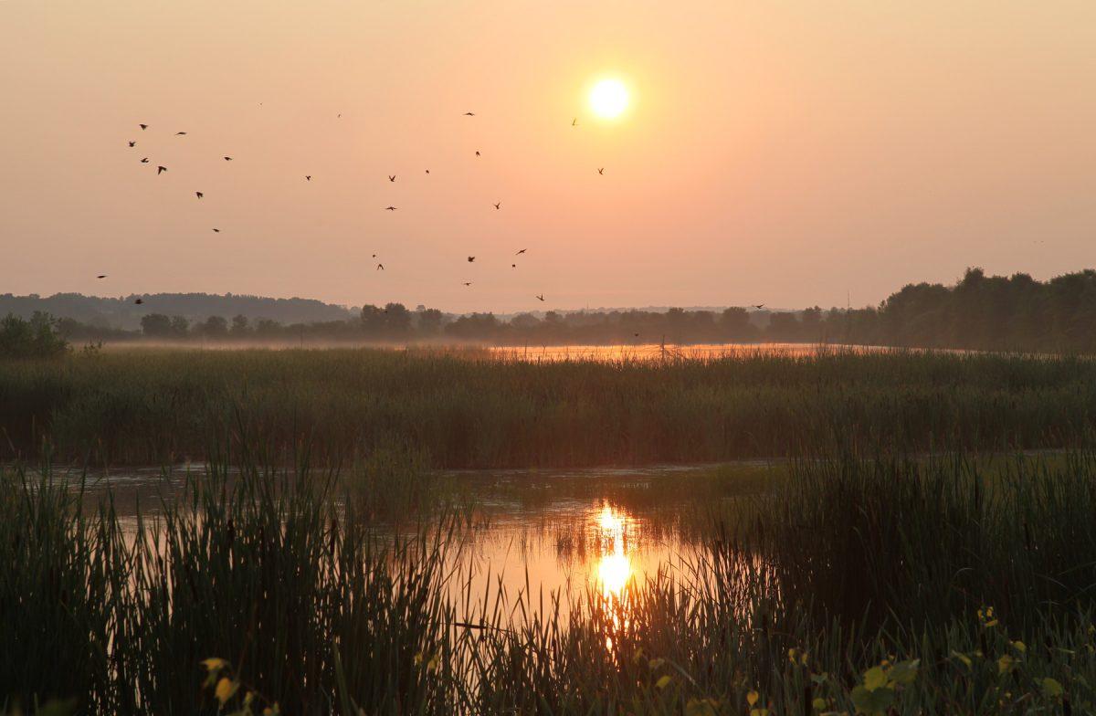 Le carouge à épaulettes est un oiseau très commun à la réserve naturelle du Marais-Léon-Provancher. Très tôt le printemps il arrive pour y nicher. On peu donc parfois le voir par bandes, un peu comme des essaims d'abeilles.
