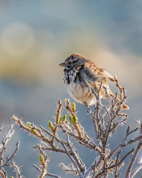 Bruant chanteur. Parc naturel et historique de l'Île aux Basques