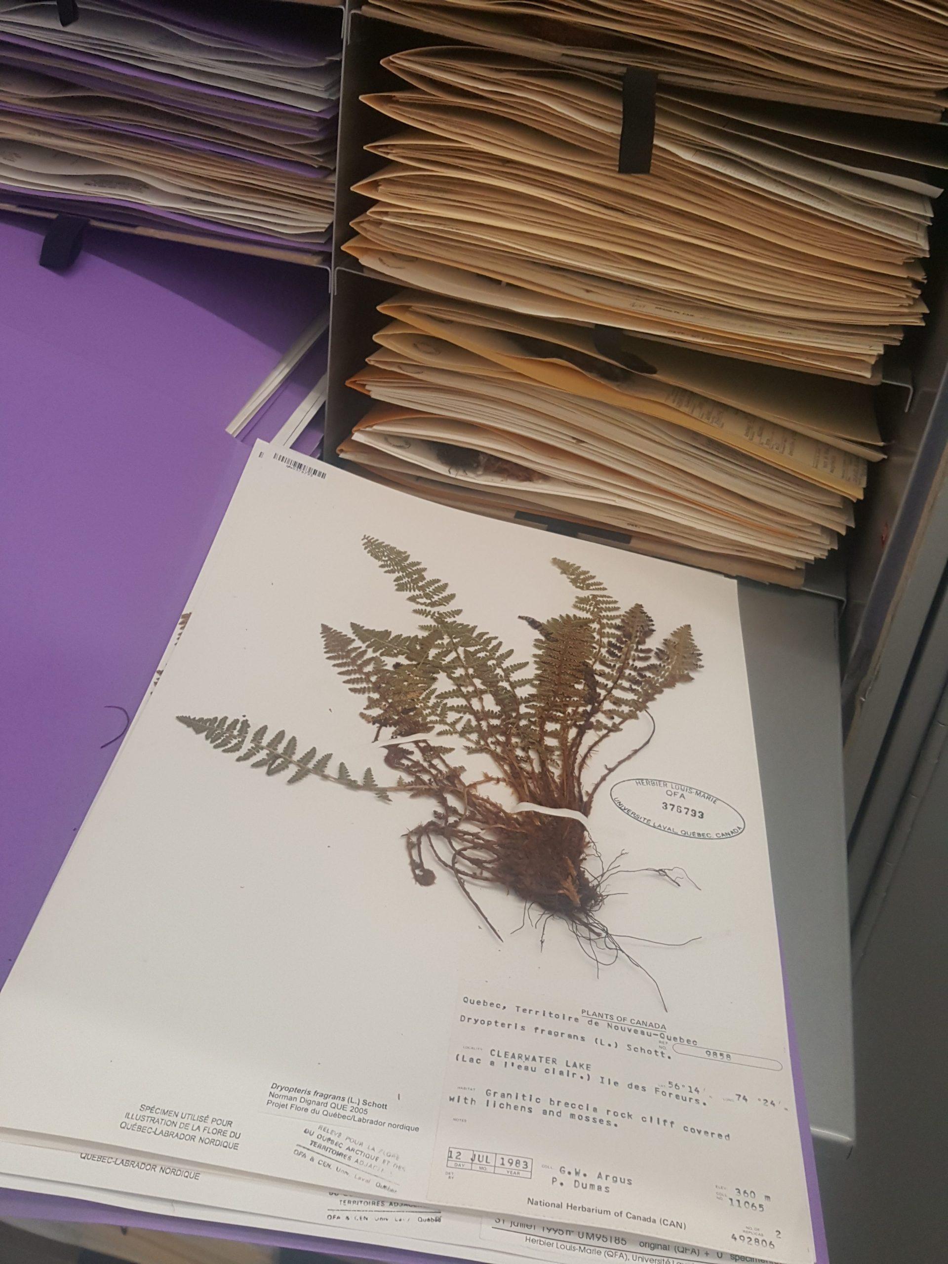 Plante. Fougère. Dryopteris fragrans (L.) Schott. du lac à l'Eau Claire. Photo : Élisabeth Bossert.