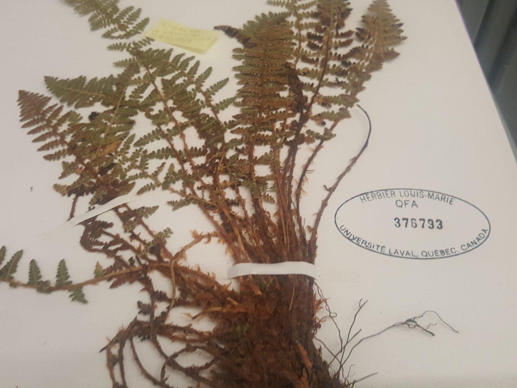 La fougère Dryopteris fragrans (L.) Schott. du lac à l'Eau Claire. Photo : Élisabeth Bossert.