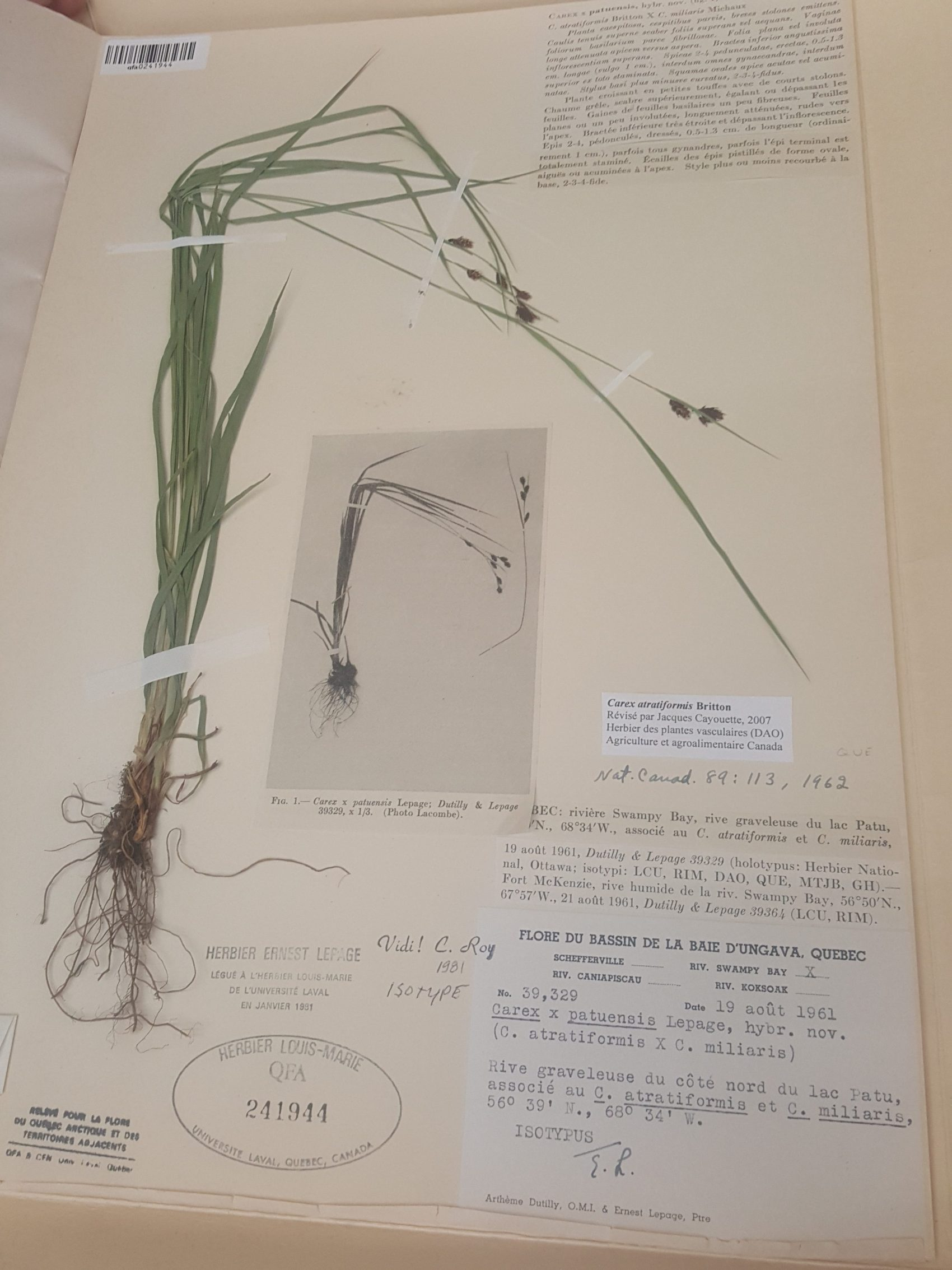 Carex atratiformis Britton de la baie d'Ungava. Photo : Élisabeth Bossert.