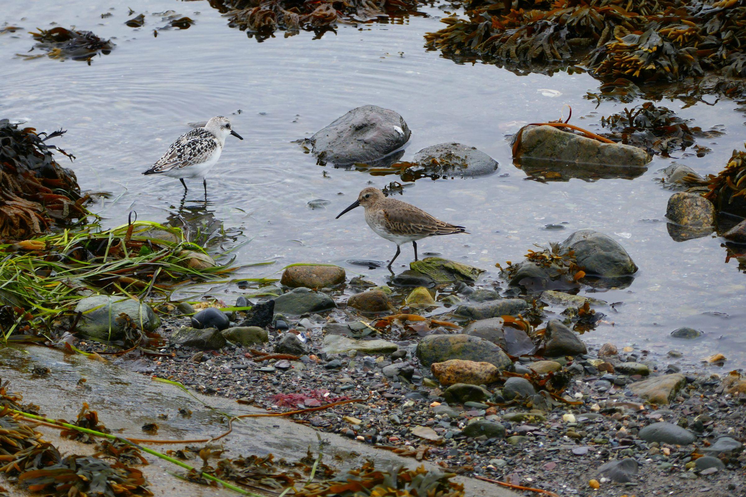 Ce 23 septembre 2019, observation des bécasseaux sanderling et variables à la poibte ouest de l'île aux Basques, en train de se nourrir. Photo : Daniel Banville.