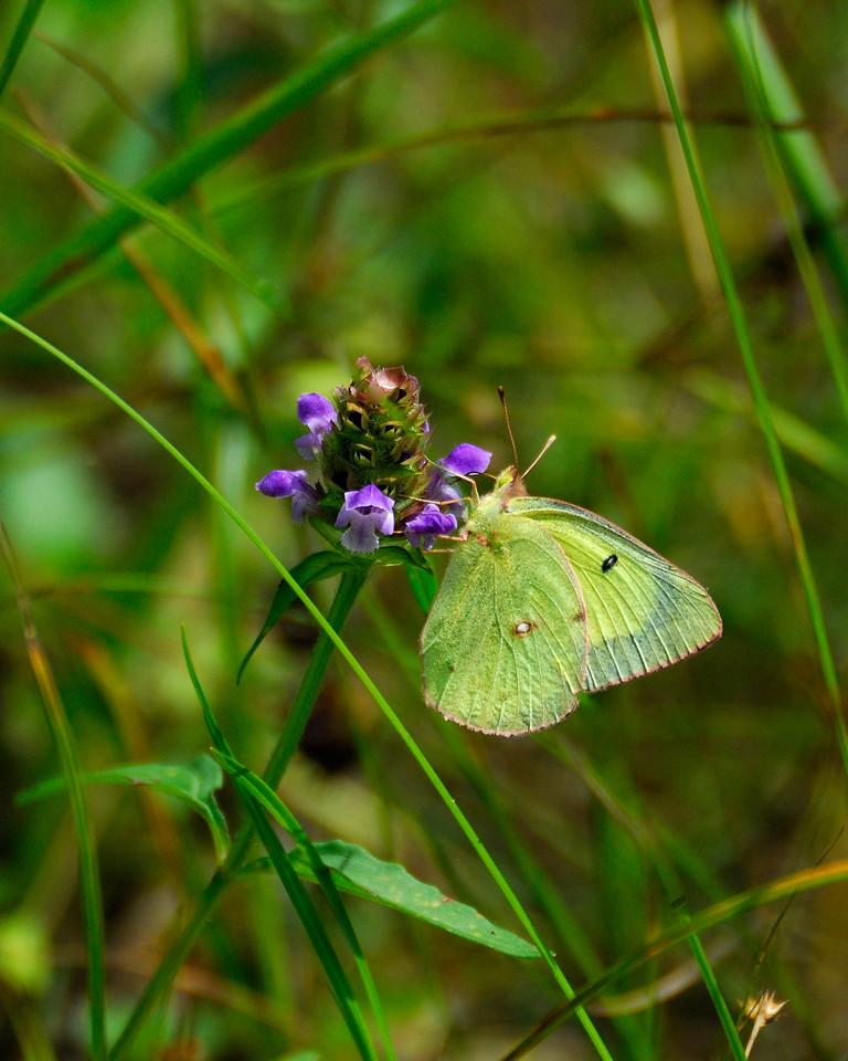 Une piéride, un papillon diurne, butinant les fleurs de la brunelle commune au Marais-Léon-Provancher. Photo : Yvan Bédard.