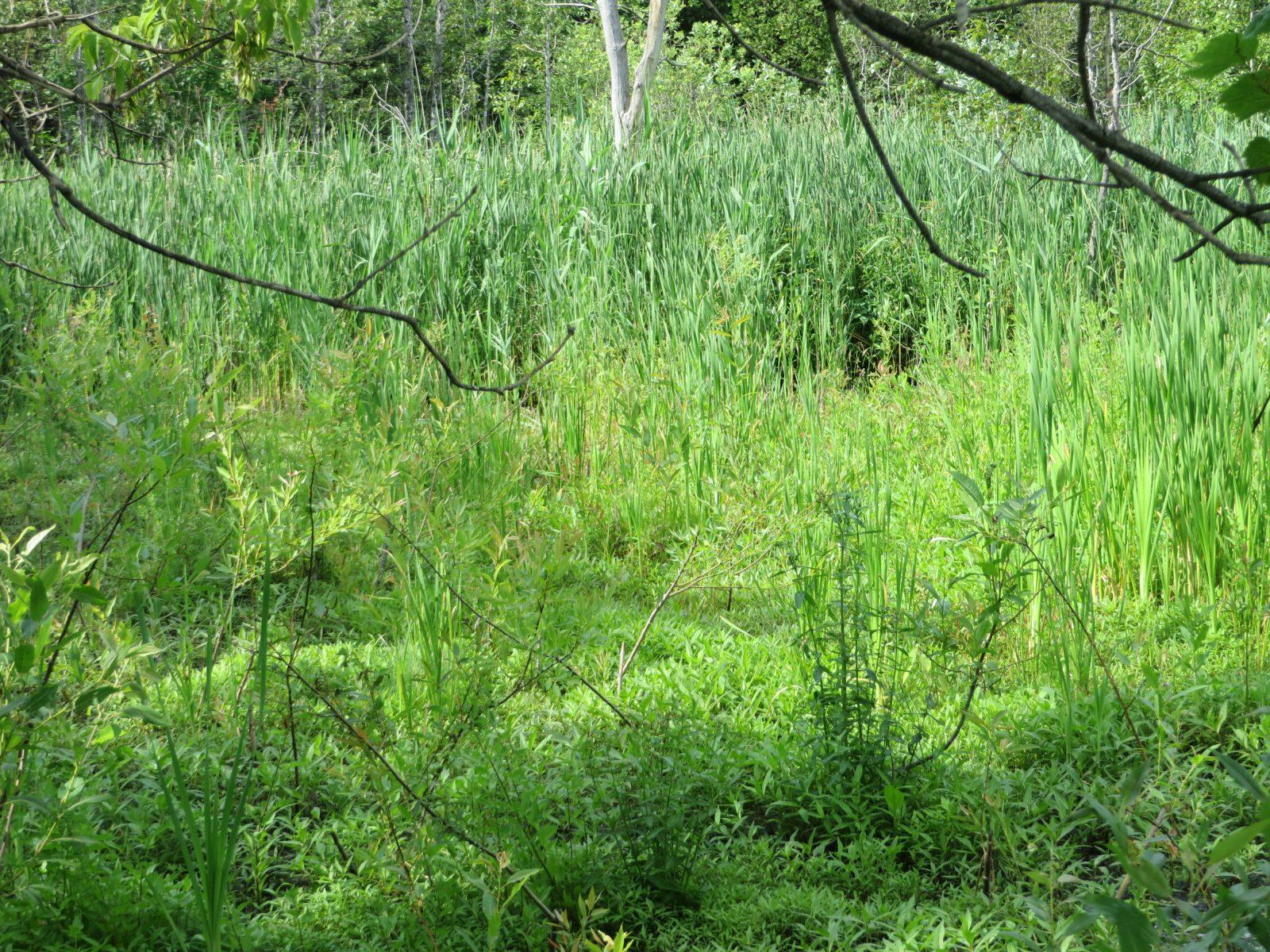Programme de contrôle du roseau commun exotique à la Réserve naturelle du Marais-Léon-Provancher.
