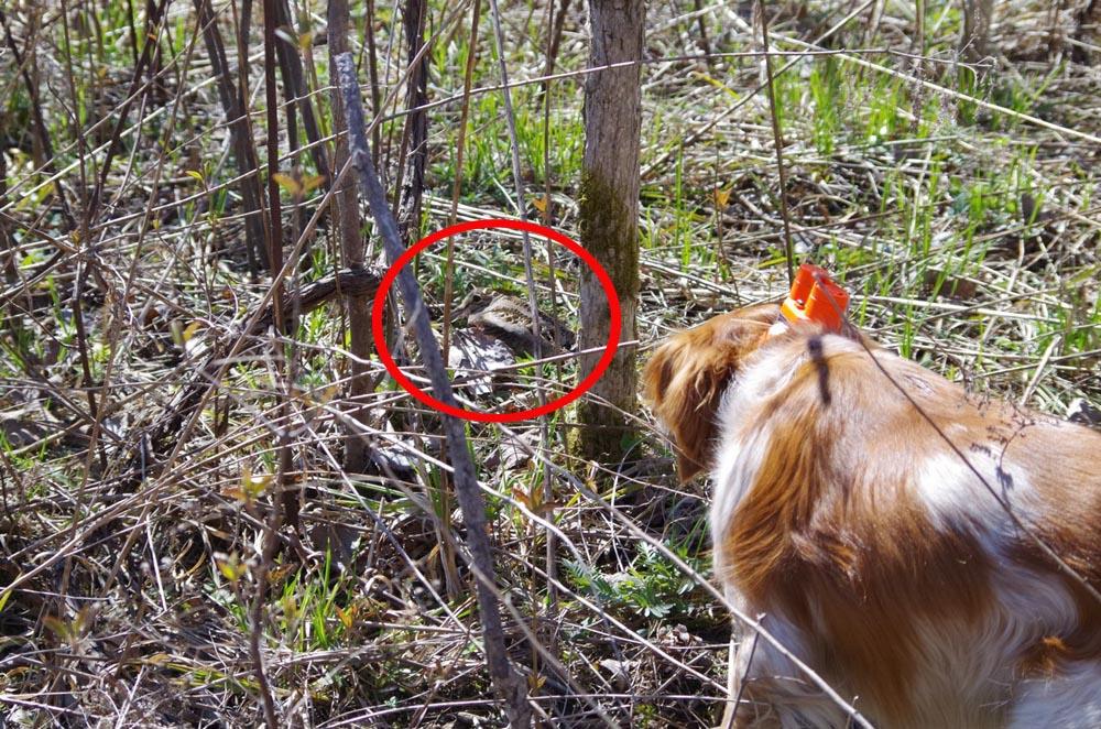 La bécasse d'Amérique possède un excellent camouflage lui permettant de se dissimuler facilement dans les feuilles et branches des boisés humides. Les chiens de chasse sont toutefois bien entraînés pour les débusquer.
