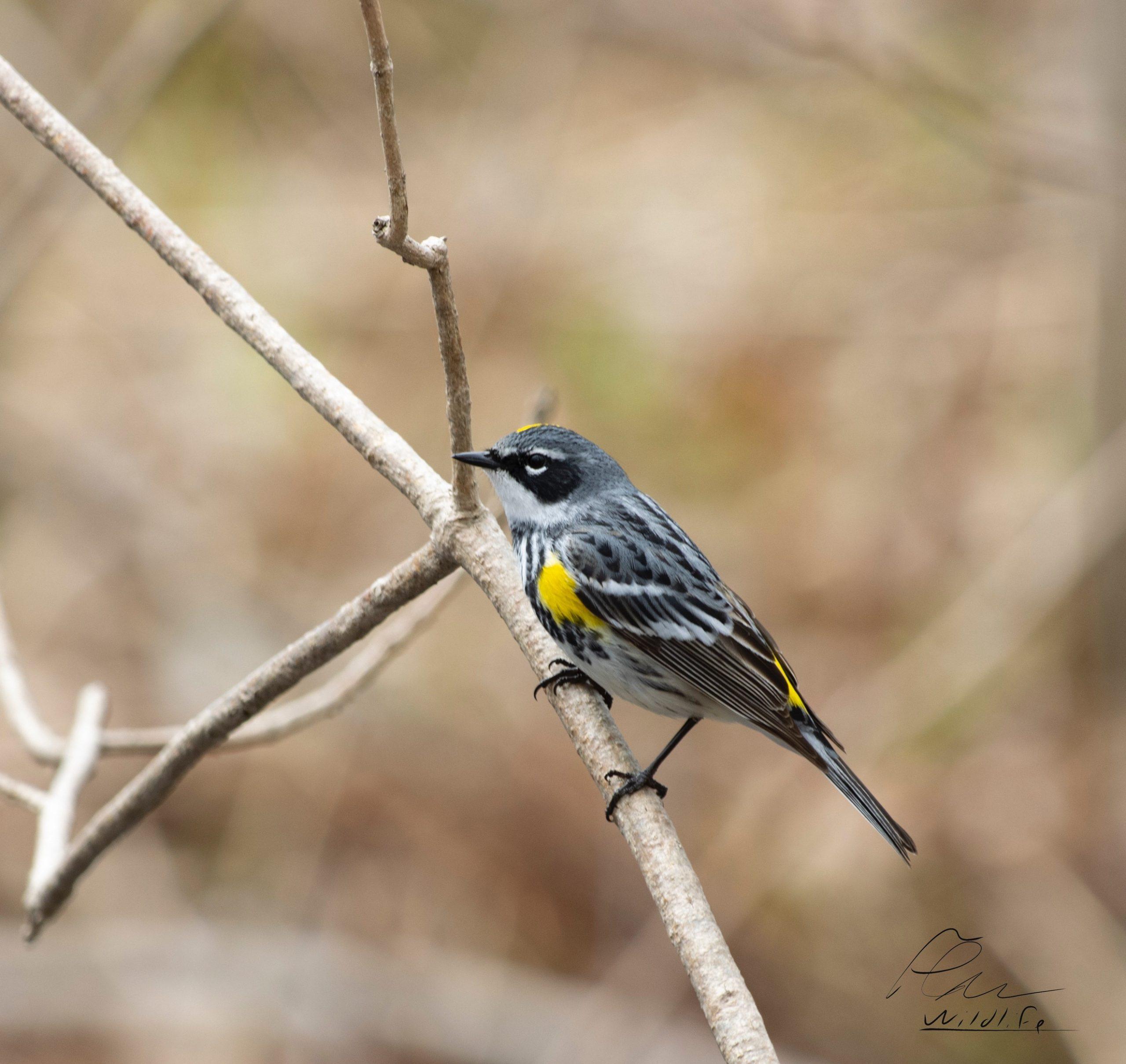 La paruline à croupion est la première espèce de cette belle famille de petits oiseaux très colorés, à arriver au Québec au printemps. On la voit alors partout à la Réserve naturelle du Marais-Léon-Provancher.