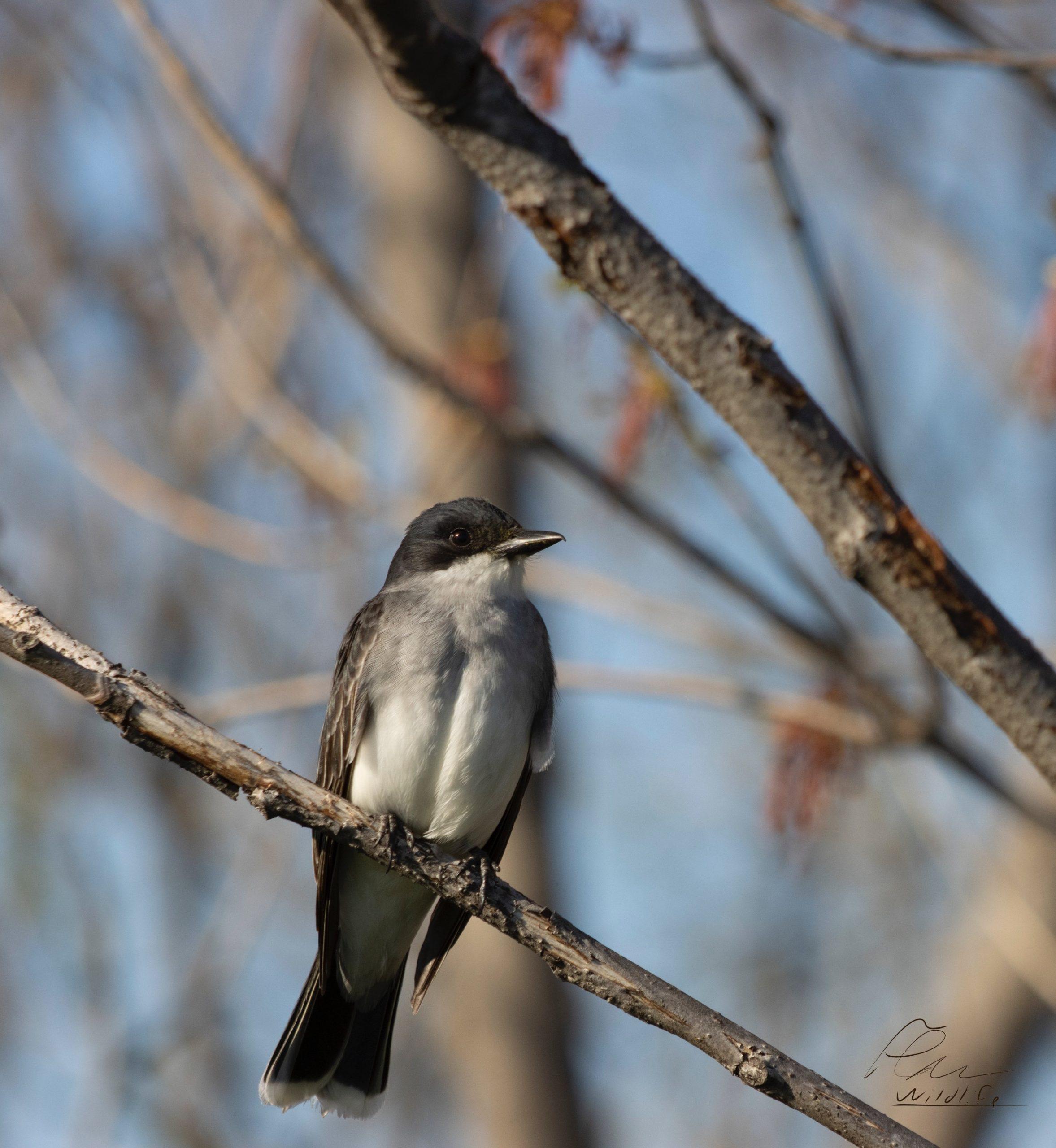 Le chant de ce bel oiseau noir et blanc lui a valu son nom : le tyran tritri. Il fréquente assidûment le marais Léon-Provancher où il y construit son nid.