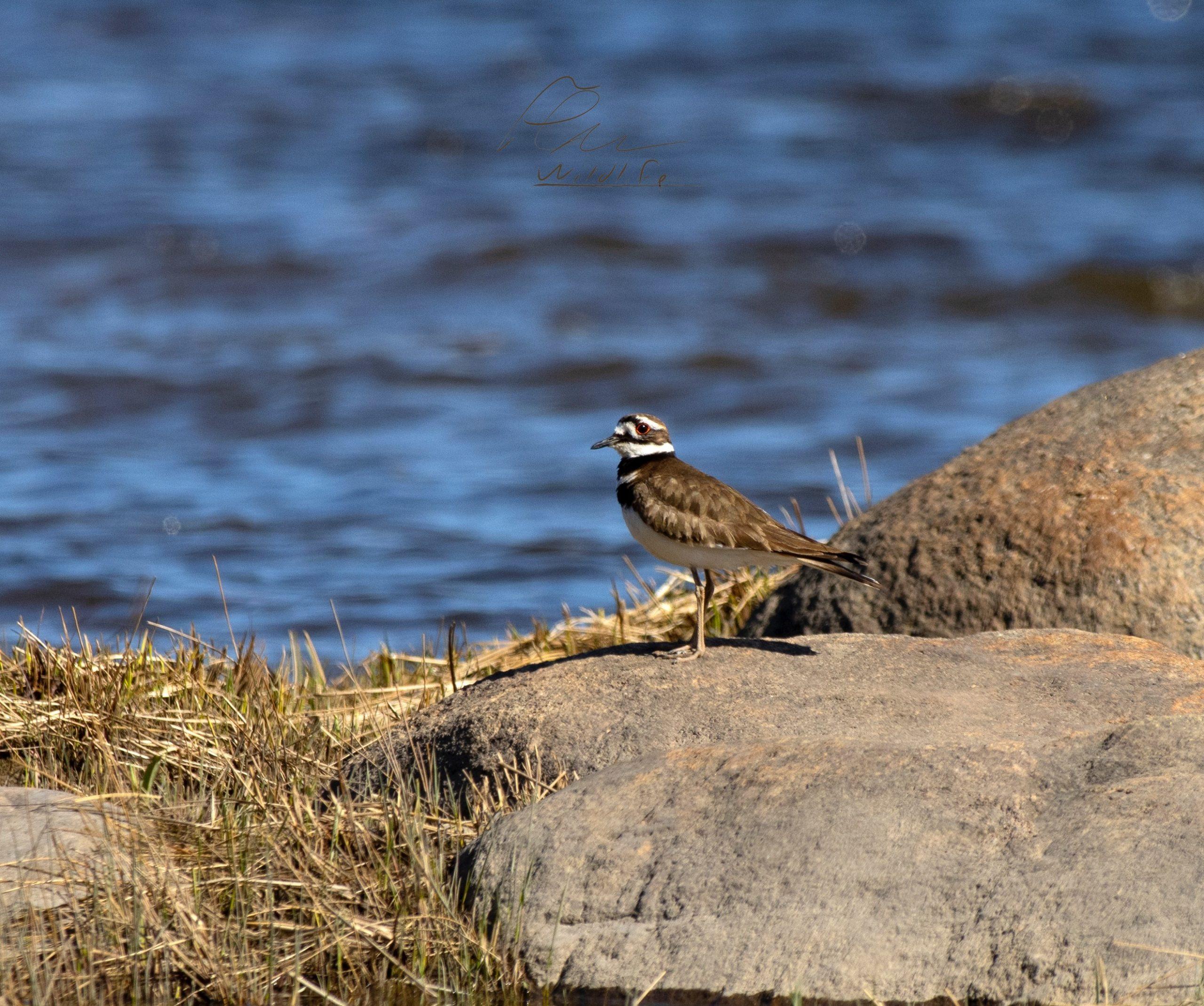 Le pluvier kildir fait partie de la famille des limicoles. On le reconnait à ses deux colliers bruns et à son chant caractéristique qui lui a valu son nom.