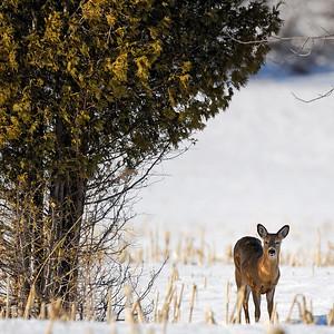 Très présent à la Réserve naturelle du Marais-Léon-Provancher, le cerf de Virginie est un mammifère familier observable en toute saison. Photo : Yvan Bédard.