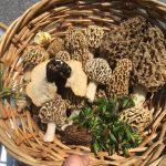 La mycologie est la science traitant des champignons. Plusieurs espèces trouvées au Québec sont comestibles. Il faut toutefois apprendre à différencier les diverses espcèces. La recolte de champignons sauvages est donc toute une expérience. Photo : Alexandre Caron.