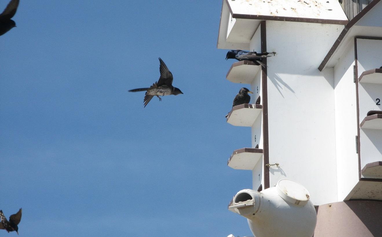 Des nichoirs artificiels ont été érigés sur les Plaines d'Abraham, à Québec, afin d'accueillir les hirondelles noires. Celles-ci nichent en colonie parfois nombreuses. Mais d'autres espèces, tel que l'étourneau sansonnet, aiment aussi s'accaparer de tels nids. Photo : Guy Trencia.