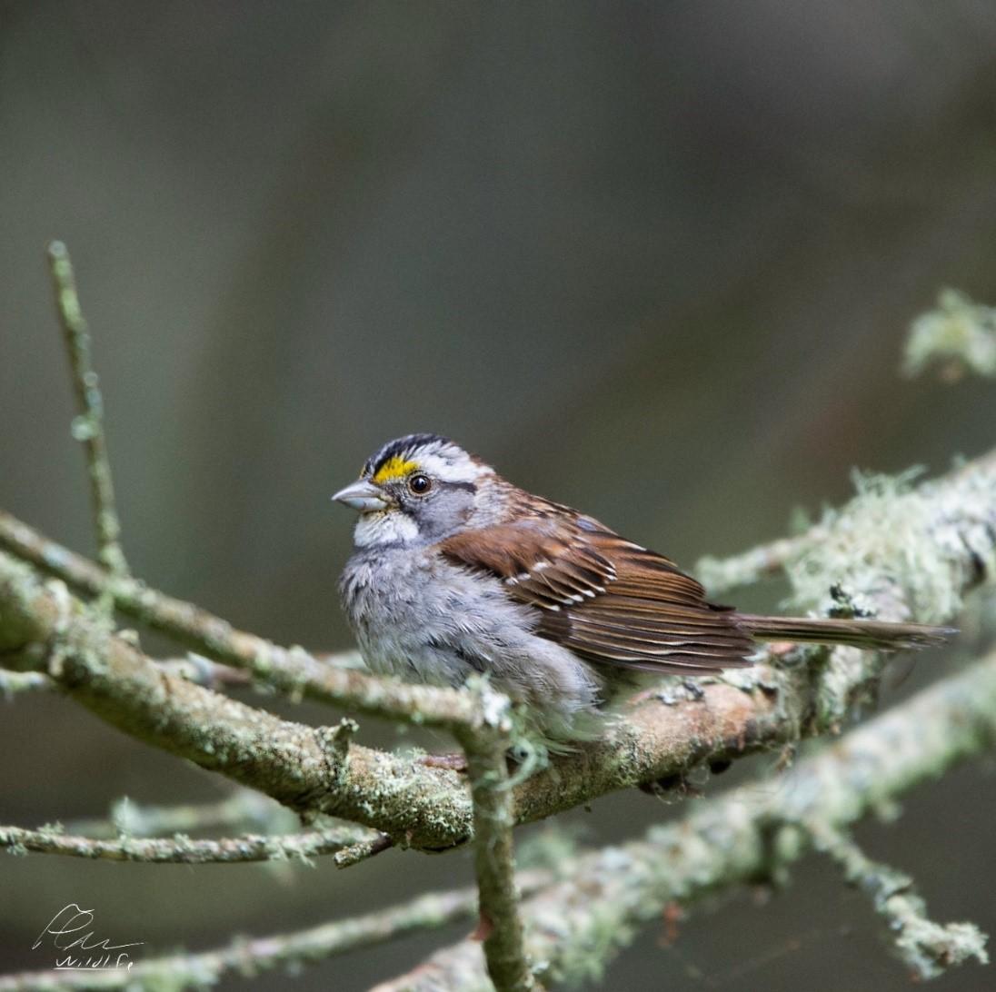 Le bruant à gorge blanche est l'une des espèces d'oiseaux nicheux les plus communes de l'île aux Basques. Présent partout en forêt, il égaye, par son chant mélodieux et langoureux, les journées d'été.
