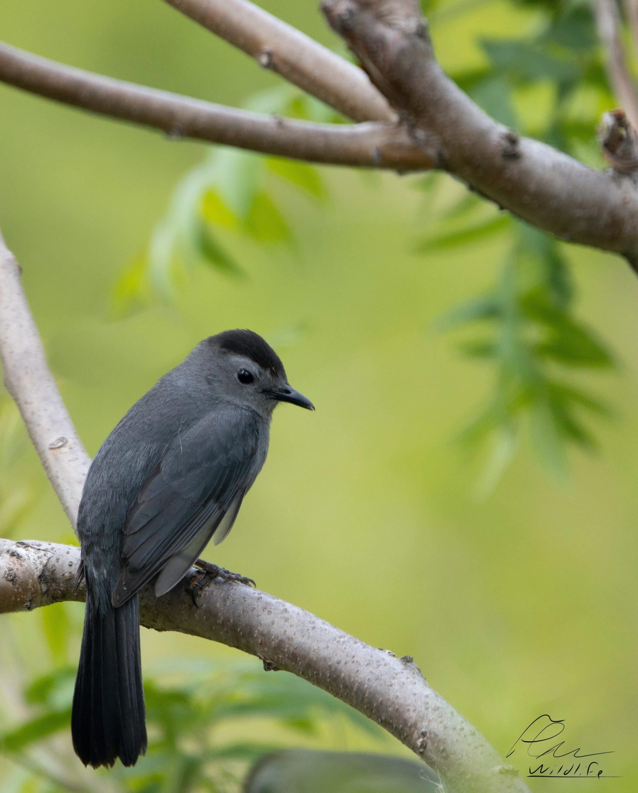 Le moqueur chat est un oiseau très commun à la réserve naturelle du Marais-Léon-Provancher. L'ornithologie estivale en fait toujours mention.